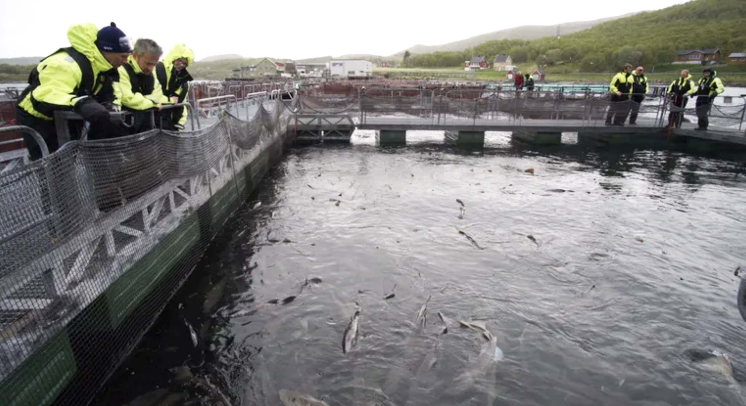 Norcod in the news, 6th generation of cod fry