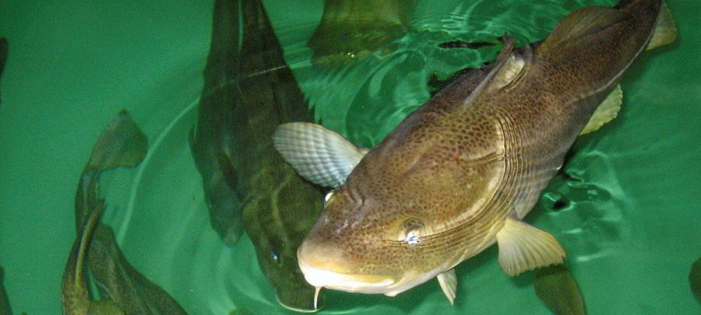 Norcod cod at surface of the water