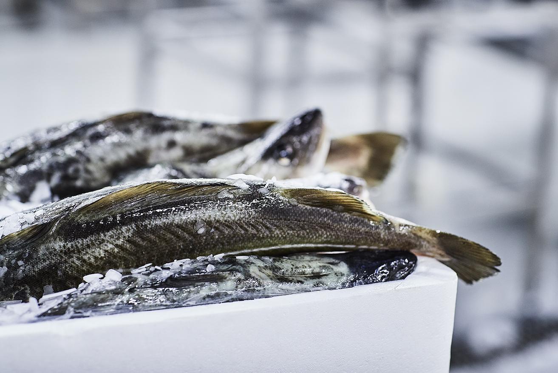 Fiskeskala og skinn i isboks